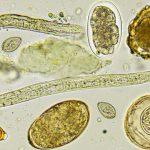 Бактерии и гельминты: могут ли они быть полезны?
