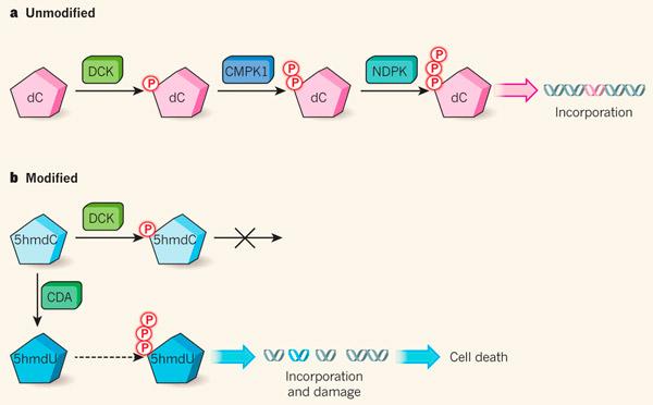 Модифицированные нуклеозиды могут стать лекарством от рака