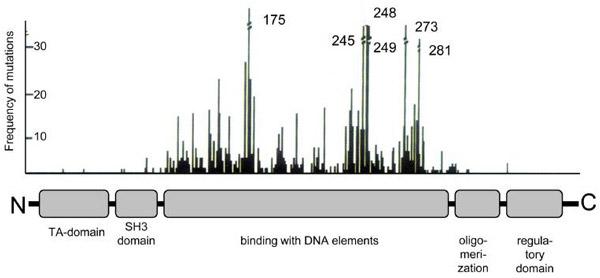Главный борец с опухолями ген ТР53 может превращаться в онкоген