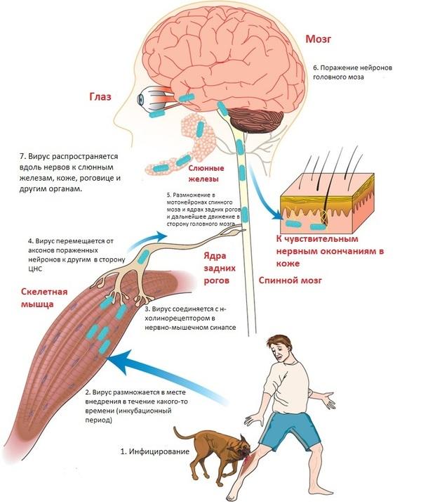 Бешенство у человека: симптомы и профилактика