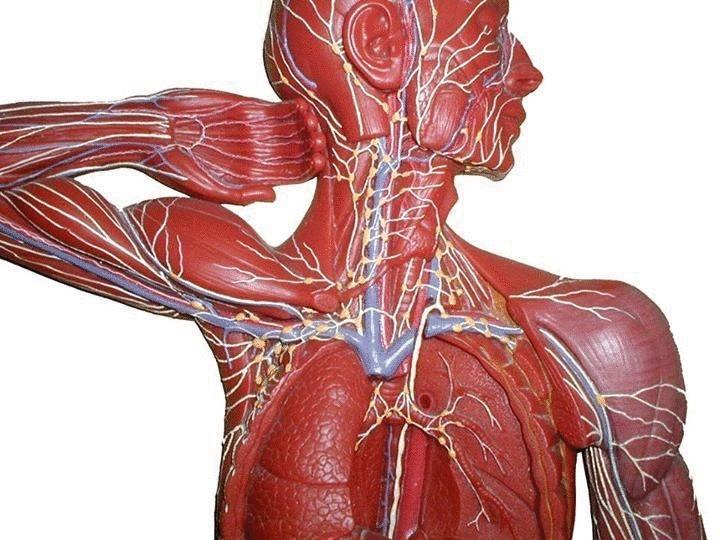 Насколько мы ничего не знаем о лимфатической системе