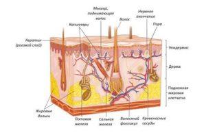 Строение и функции кожи