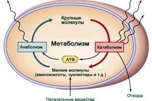 От чего зависит скорость метаболизма